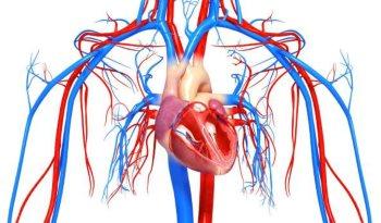 Сердечно-сосудистая система при беременности