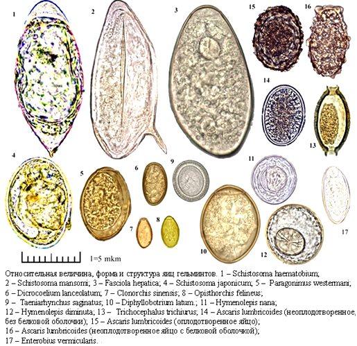 Анализы кала на гельминты